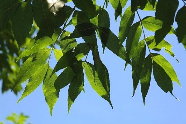 dişbudak ağacı nedir