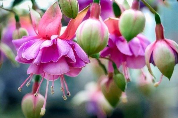 küpe çiçeği nasıl çoğaltılır