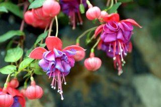 Küpe Çiçeği: Bakımı, Çoğaltılması, Çeşitleri Tarifi
