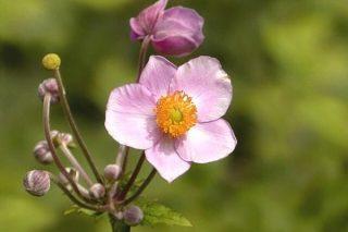 Anemon Çiçeği: Anlamı, Bakımı, Yetiştiriciliği Tarifi