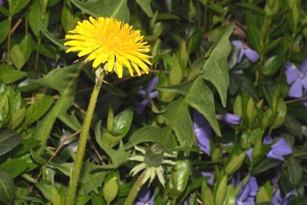 hindiba bitkisi