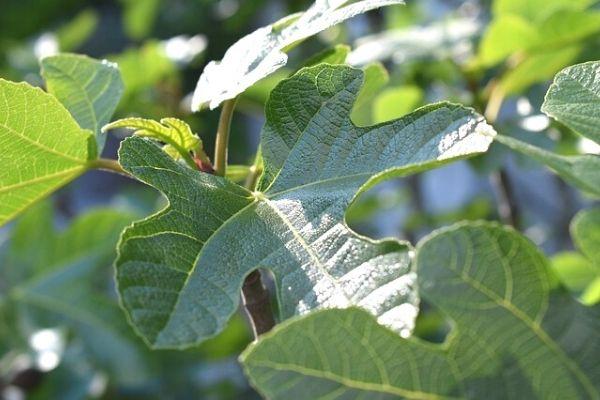incir ağacı