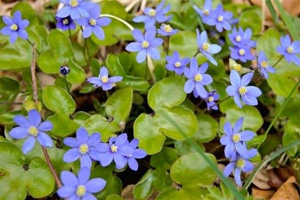 mavi anemon çiçeği yağı faydaları