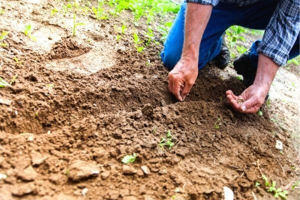 tohum nasıl ekilir