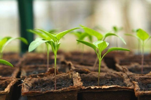 pamukta fasulye yetiştirmek