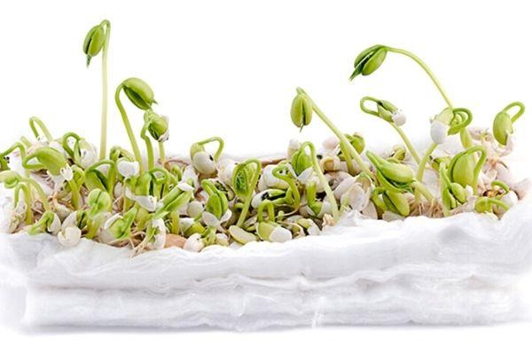 pamukta fasulye yetiştirme