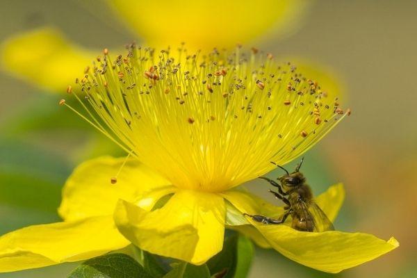 sarı kantaron faydaları