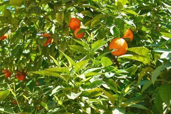 turunç meyvesi nedir, faydaları nedir?