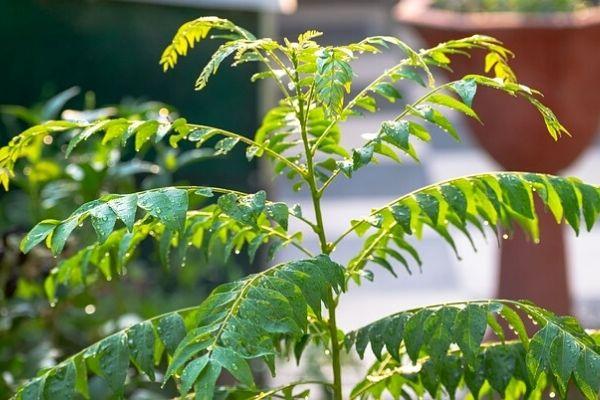köri yaprağı