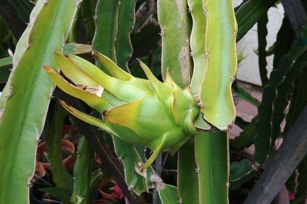 ejder meyvesi yetiştirmek