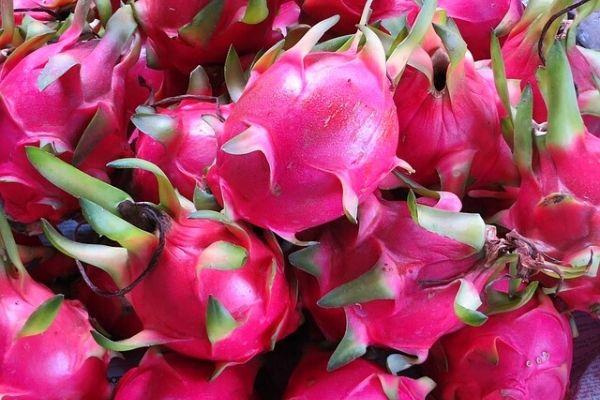 pitaya yetiştiriciliği