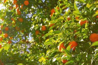 Portakal Ağacı: Bakımı ve Yetiştiriciliği Tarifi