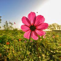 yasemin çiçeği