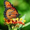 Kelebeğim